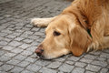 Brown retriever dog lying on the pavement looking sad cute Stock Image