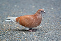 Brown rock pigeon standing on the ground Royalty Free Stock Images