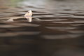 Brown roofed turtle floating in water Royalty Free Stock Photo
