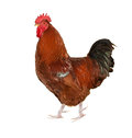 Brown rooster isolated on white Stock Photography
