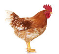 Brown rooster on white background, isolated object, live chicken, one closeup farm animal