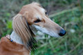 Brown saluki portrait Royalty Free Stock Photos
