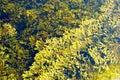Brown Sea Algae Royalty Free Stock Photo