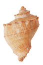 The brown sea shell Royalty Free Stock Photo
