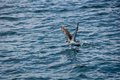 Brown seagull starting over the water Royalty Free Stock Images