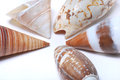 Brown Seashells Stock Images