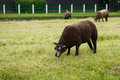 Brown sheep cropping grass Stock Photo