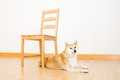Brown shiba with chair at home Stock Images