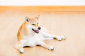 Brown shiba in the living room Royalty Free Stock Photography
