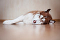 Brown siberian husky dog resting indoors Royalty Free Stock Images