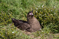 Brown skua nesting falkland islands Stock Image