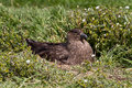 Brown skua is nesting falkland islands Stock Image