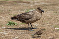 Brown skua and tussac bird falkland islands Stock Photography