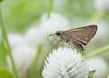 Brown small butterfly on flower thailand Stock Photos