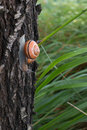 Brown snail outside her house crawling on a tree trunk Royalty Free Stock Photo