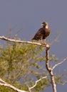 Brown Snake Eagle Stock Image