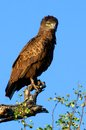 Brown snake eagle circaetus cinereus in kruger national park south africa Stock Photos