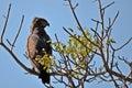 Brown snake eagle (Circaetus cinereus) Royalty Free Stock Photo