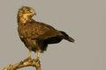 Brown snake eagles circaetus cinereus in kruger national park south africa Stock Images