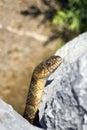Brown Snake on Rocks