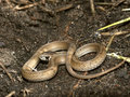 Brown Snake (Storeria dekayi) Royalty Free Stock Photography