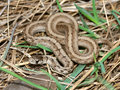 Brown Snake (Storeria dekayi) Stock Photography