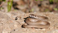 Brown snake texas storeria dekayi texana a subspecies of storeria dekayi is a nonvenomous in the family colubridae it is Stock Photo