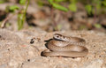 Brown snake Royalty Free Stock Photo