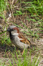 Brown sparrow sitting in the grass Royalty Free Stock Photo
