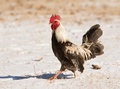 Brown speckled bantam rooster walking in snow on a sunny winter day Stock Photo