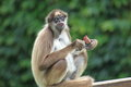 Brown spider monkey the sitting with some food ih his hand Royalty Free Stock Photos