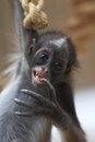 Brown spider monkey the swinging juvenile of Royalty Free Stock Image