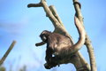 Brown spider monkey the on the tree Royalty Free Stock Photo