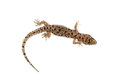 Brown spotted gecko reptile isolated on white Royalty Free Stock Photo