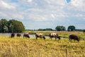 Brown spotted sheep standing on a Dutch dike Royalty Free Stock Image