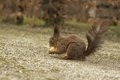Brown squirrel eating walnut on a country road blurred background and foreground Stock Image