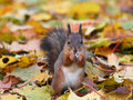 Brown squirrel in the forest Royalty Free Stock Photo