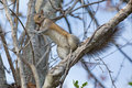 Brown squirrel gnawing on a branch up in tree Stock Images