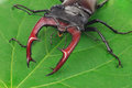 Brown stag beetle lucanus cervus the largest european Stock Images