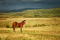Brown stallion on a large pasture Stock Photo