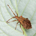Brown stink bug sitting on a leaf Royalty Free Stock Image
