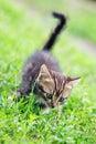 Brown stripes cute kitten walking on the grass