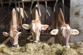 Brown Swiss cows Feeding at a farm Royalty Free Stock Photo