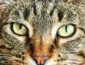 Brown tabby cat gaze