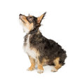 Brown and Tan Scruffy Terrier Sitting Side Royalty Free Stock Photo