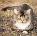 Brown tawny tabby cat sitting on dry grass black and white with green eyes relaxed summer Royalty Free Stock Photos