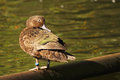 Brown teal looking back Immagine Stock