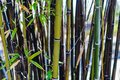 stock image of  Brown thinning sick bamboo patch