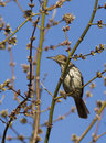 Brown thrasher toxostoma rufum in spring Royalty Free Stock Photo