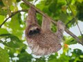 Brown throated sloth in the jungle young hanging from a branch bocas del toro panama central america Royalty Free Stock Photography